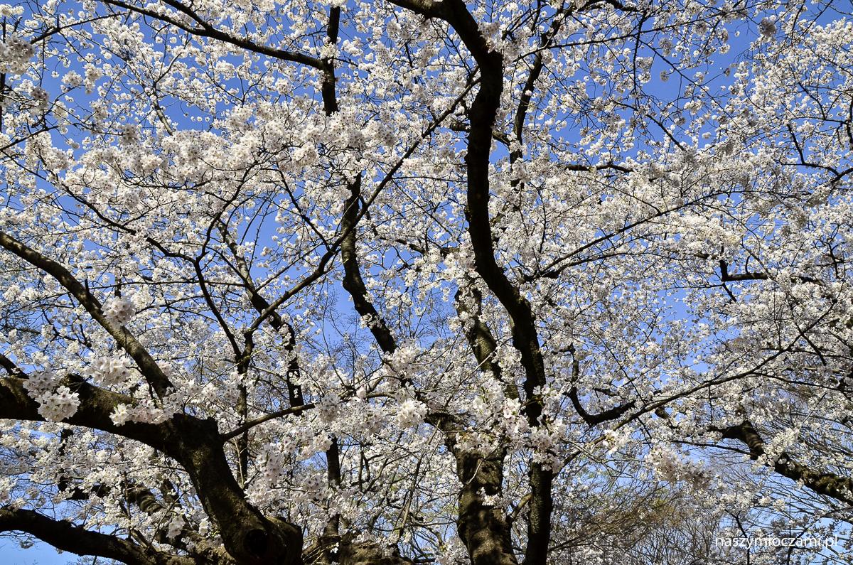 Kwitnące wiśnie w Tokio