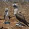Głuptaki z Galapagos